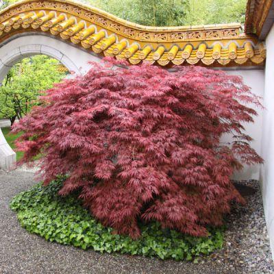 erable du japon acer palmatum 39 garnet 39 arbres et. Black Bedroom Furniture Sets. Home Design Ideas