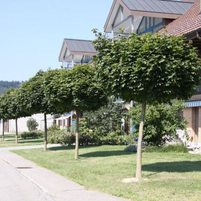 erable plane boule acer platanoides 39 globosum 39 arbres. Black Bedroom Furniture Sets. Home Design Ideas