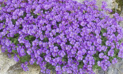 Plante aubrieta