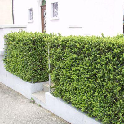 Buis commun buxus sempervirens plantes pour haies for Buis pour haie
