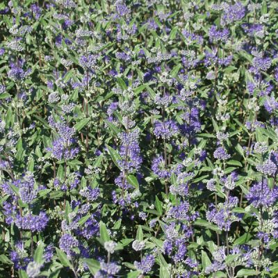 Caryopteris heavenly blue plantafstand