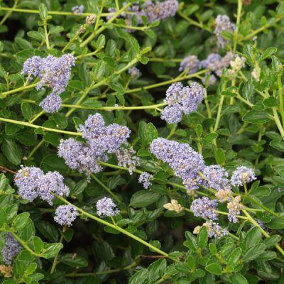 C anothe ceanothus thyrsifl v repens arbres et arbustes d 39 ornement - Arbre d ornement feuillage persistant ...