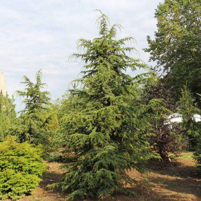 C dre de chypre cedrus libani ssp brevifolia - Cedre bleu du liban ...
