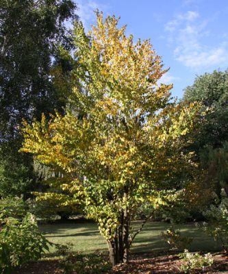 arbre caramel katsura cercidiphyllum japonicum arbres et arbustes d 39 ornement p pini res. Black Bedroom Furniture Sets. Home Design Ideas