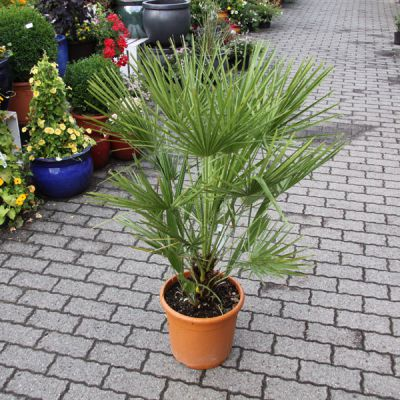 Palmier ornement for Arbre exotique exterieur