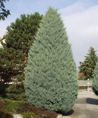 Cypr s de l 39 arizona cupressus arizonica 39 fastigiata 39 conif re - Cypres bleu de l arizona ...