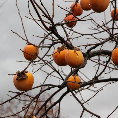 Kaki plaqueminier diospyros kaki 39 demi tige 39 arbres et arbustes d 39 ornement p pini res - Arbre a kaki nom ...