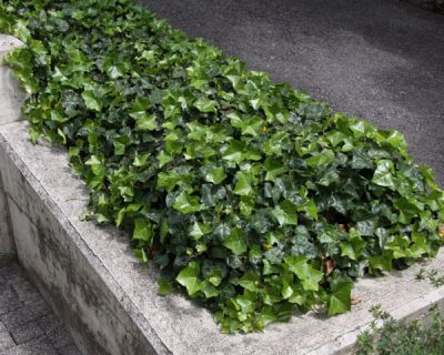 Lierre d 39 irlande hedera hibernica plantes tapissantes p pini res meylan shop - Lierre rampant couvre sol ...
