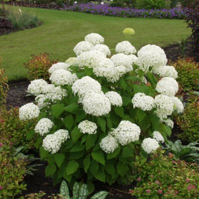 hortensie hydrangea arborescens 39 annabelle. Black Bedroom Furniture Sets. Home Design Ideas