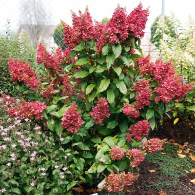 rispen hortensie hydrangea paniculata 39 pinky winky. Black Bedroom Furniture Sets. Home Design Ideas