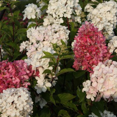 hortensia panicul hydrangea paniculata 39 vanille fraise. Black Bedroom Furniture Sets. Home Design Ideas