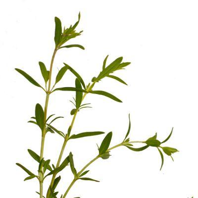 hysope hyssopus officinalis plantes aromatiques p pini res meylan shop. Black Bedroom Furniture Sets. Home Design Ideas