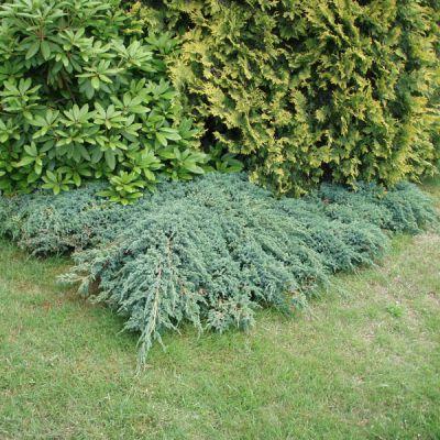 Gen vrier cailleux juniperus squamata 39 blue carpet 39 conif res p pini res meylan shop - Juniperus squamata blue carpet ...