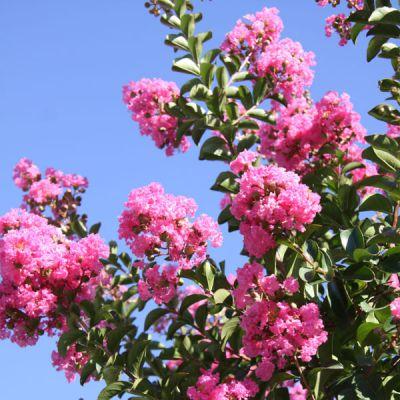 Lilas d 39 t lilas des indes lagerstroemia indica 39 rosea 39 arbres tiges et d 39 avenues - Arbre lilas des indes ...