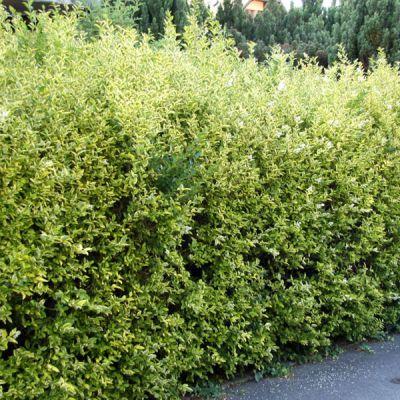 tro ne de californie ligustrum ovalifolium 39 aureum 39 plantes pour haies p pini res meylan shop. Black Bedroom Furniture Sets. Home Design Ideas
