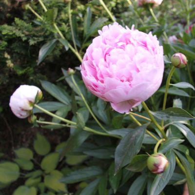 pivoine paeonia lactiflora groupe bernhardt plantes vivaces 224 fleurs p 233 pini 232 res