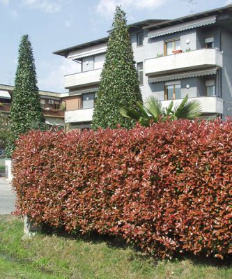 photinia photinia fraseri x 39 red robin 39 plantes pour haies p pini res meylan shop. Black Bedroom Furniture Sets. Home Design Ideas