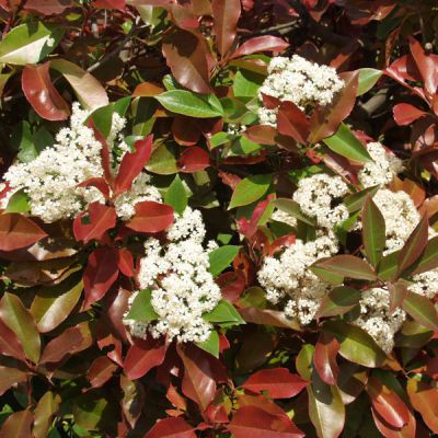 photinia photinia fraseri x 39 red robin 39 plantes pour. Black Bedroom Furniture Sets. Home Design Ideas
