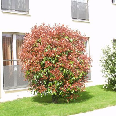 photinia photinia fraseri x 39 red robin 39 arbres et arbustes d 39 ornement p pini res meylan shop. Black Bedroom Furniture Sets. Home Design Ideas