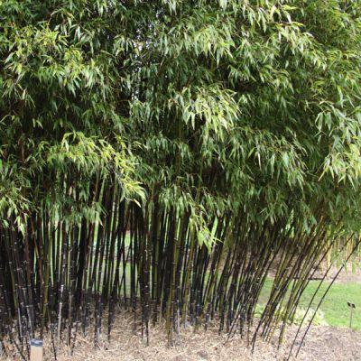 bambou noir phyllostachys nigra bambous p pini res meylan shop. Black Bedroom Furniture Sets. Home Design Ideas