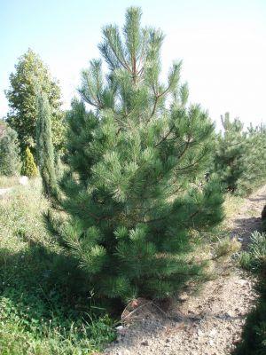 Pinus nigra ssp nigra