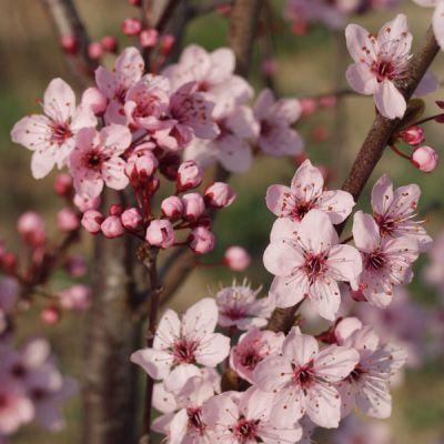 prunier cerise prunus cerasifera 39 woodii 39 arbres et arbustes d 39 ornement p pini res meylan shop. Black Bedroom Furniture Sets. Home Design Ideas