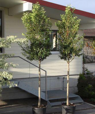 portugiesischer kirschlorbeer prunus lusitanica 39 angustifolia 39 alleeb ume meylan. Black Bedroom Furniture Sets. Home Design Ideas