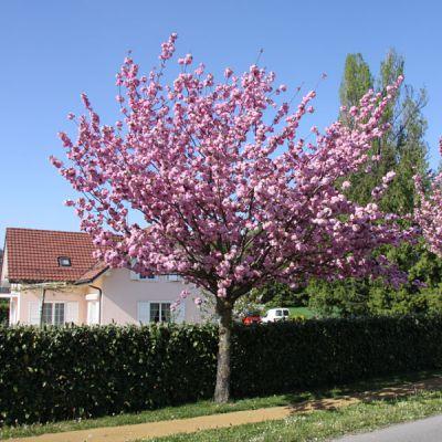 Cerisier du japon prunus serrulata 39 kanzan 39 arbres for Arbre d ombrage croissance rapide