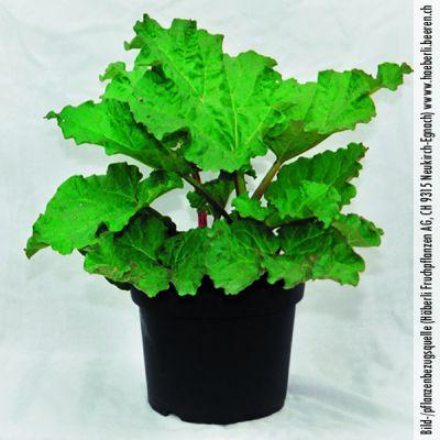 rhubarbe rheum rhubarbe 39 esta 39 rhubarbes p pini res meylan shop. Black Bedroom Furniture Sets. Home Design Ideas