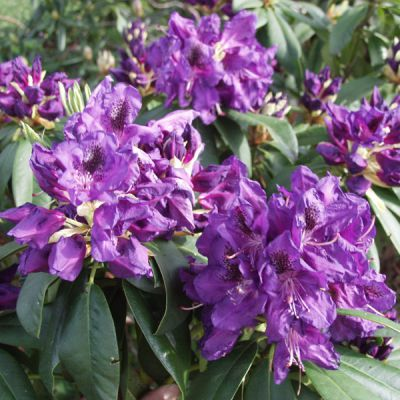 rhododendron rhododendron catawbiense groupe 39 lee 39 s dark purple 39 plantes pour terre de. Black Bedroom Furniture Sets. Home Design Ideas