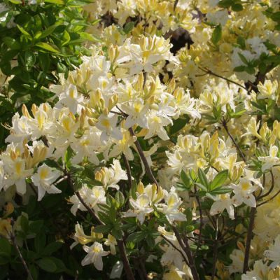 rhododendron azal e rhododendron mollis azalee blanc plantes pour terre de bruy re. Black Bedroom Furniture Sets. Home Design Ideas