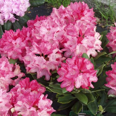 rhododendron rhododendron yakushimanum groupe 39 sneezy. Black Bedroom Furniture Sets. Home Design Ideas