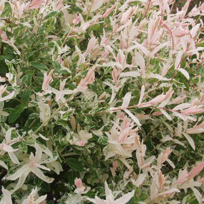 Saule crevette hakuro nishiki salix integra 39 hakuro - Salix hakuro nishiki taille ...