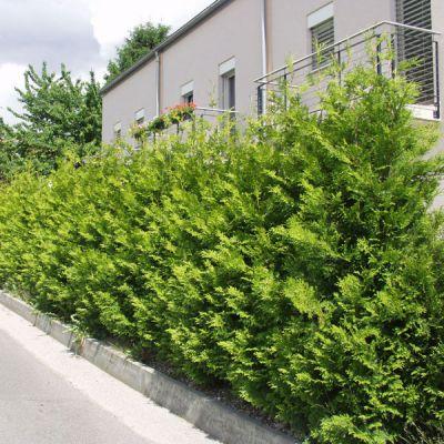 thuya thuja occidentalis 39 brabant 39 plantes pour haies p pini res meylan shop. Black Bedroom Furniture Sets. Home Design Ideas