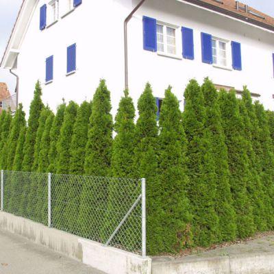 thuya meraude thuja occidentalis 39 smaragd 39 plantes pour haies p pini res meylan shop. Black Bedroom Furniture Sets. Home Design Ideas