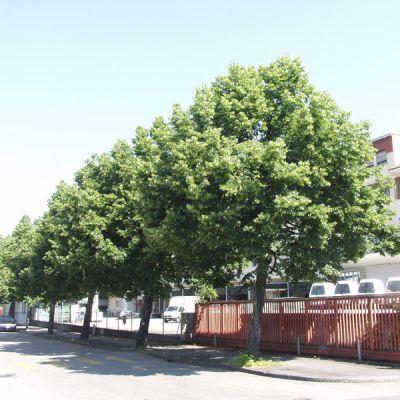 Tilleul grandes feuilles tilia platyphyllos arbres - Tilleul a grandes feuilles ...