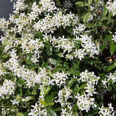 jasmin toil trachelospermum jasminoides plantes grimpantes p pini res meylan shop. Black Bedroom Furniture Sets. Home Design Ideas