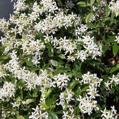 jasmin toil trachelospermum jasminoides plantes grimpantes p pini res meylan shop. Black Bedroom Furniture Sets. Home Design Ideas