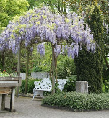 glycine de chine wisteria sinensis 39 prolific 39 plantes grimpantes p pini res meylan shop. Black Bedroom Furniture Sets. Home Design Ideas